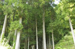 周辺の杉林