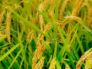 田んぼに実ったお米